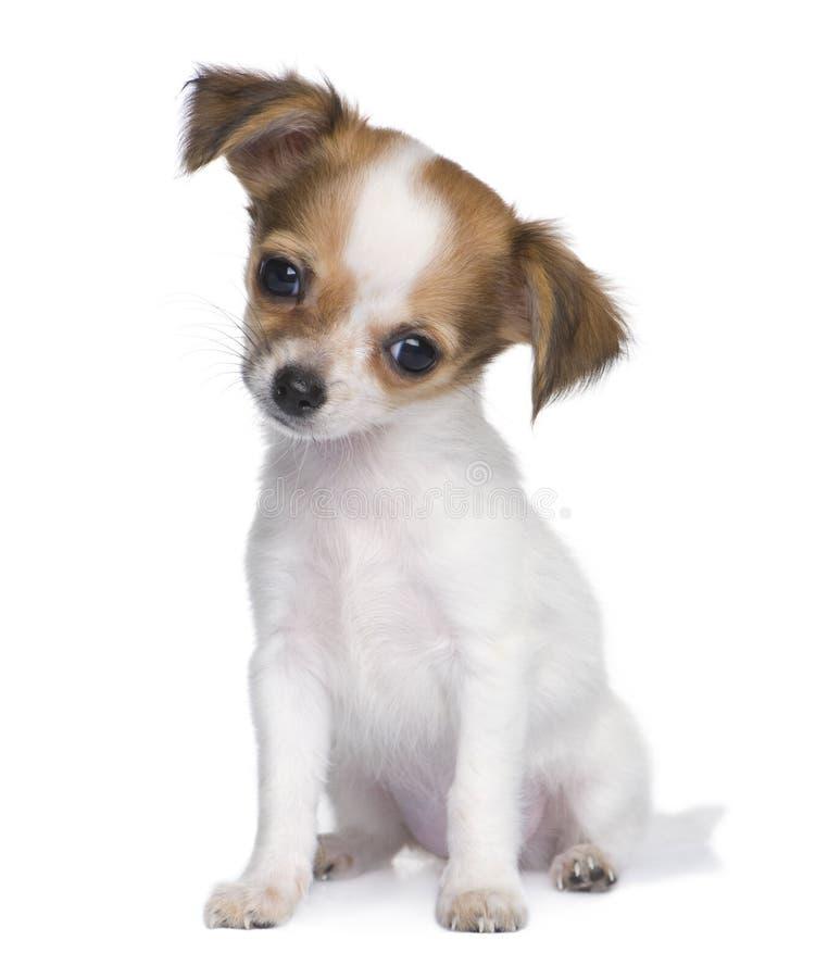 Chihuahuawelpe (3 Monate) stockbilder