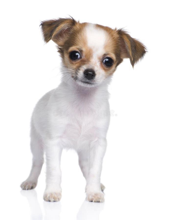 Chihuahuawelpe (3 Motten) lizenzfreies stockfoto