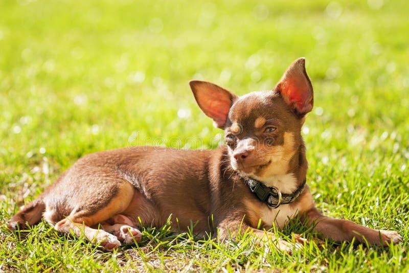 Chihuahuawelpe, der auf dem Gras stillsteht stockbilder