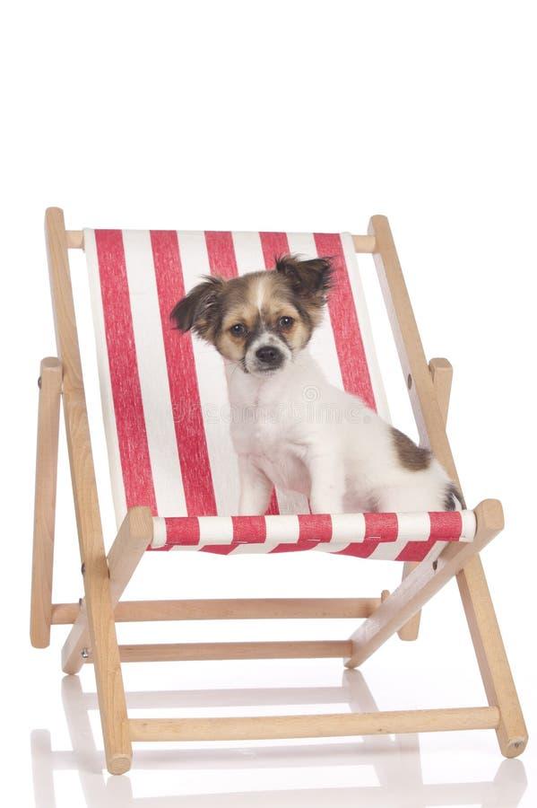 Chihuahuawelpe, der in einem deckchair sitzt lizenzfreies stockfoto