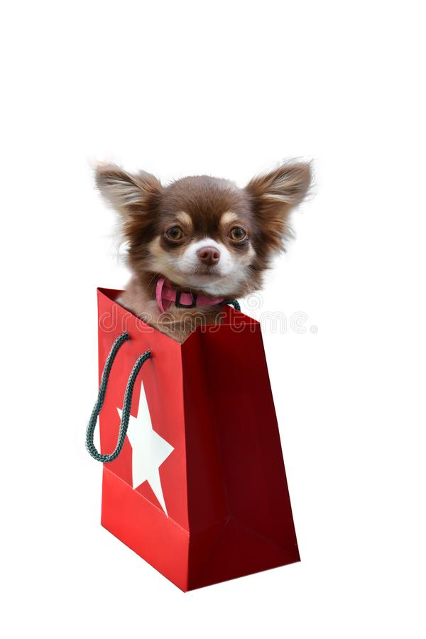 Chihuahuawelpe in der Geschenktasche stockfotografie