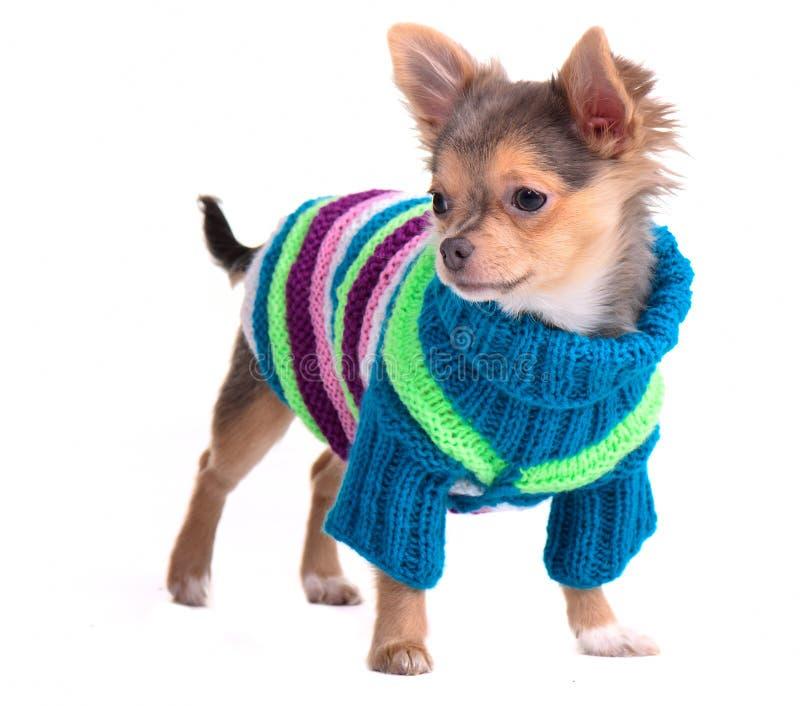 Chihuahuawelpe, der handgemachte Strickjacke trägt stockfotos