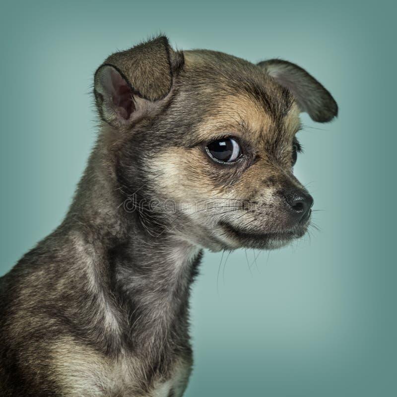 Chihuahuawelpe gegen Türkishintergrund lizenzfreie stockbilder