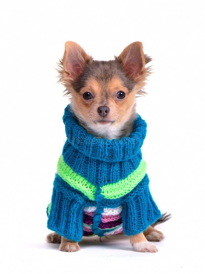 Chihuahuawelpe gekleidet mit bunter Strickjacke stockfotos