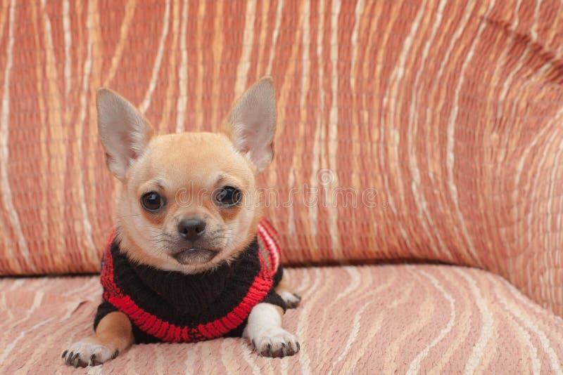 Chihuahuawelpe kleidete mit dem Pullover an, der auf Sofa liegt lizenzfreie stockbilder