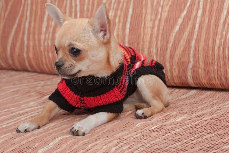Chihuahuawelpe kleidete mit dem Pullover an, der auf Sofa liegt lizenzfreies stockfoto