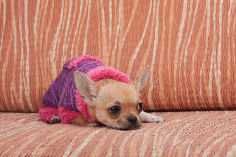 Chihuahuawelpe kleidete mit dem Pullover an, der auf Sofa liegt lizenzfreies stockbild
