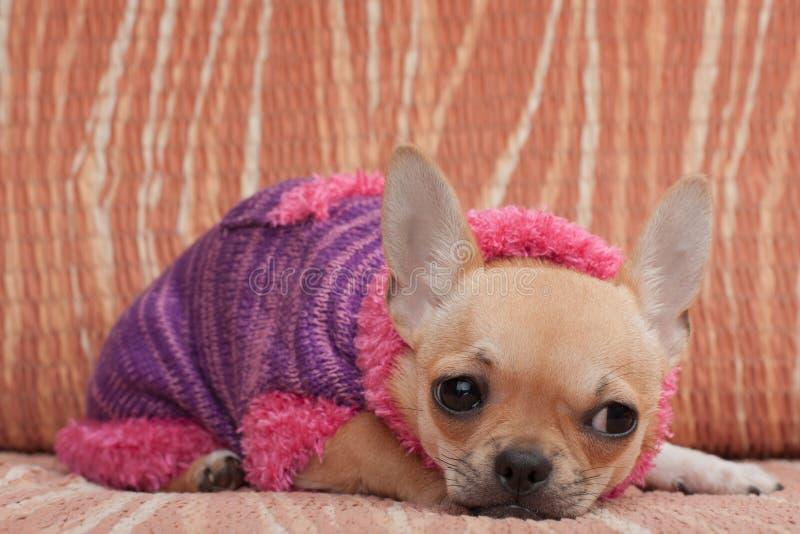 Chihuahuawelpe kleidete mit dem Pullover an, der auf Sofa liegt stockbild