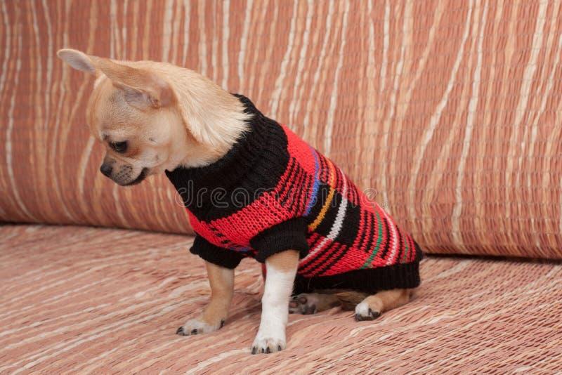 Chihuahuawelpe kleidete mit dem Pullover an, der auf Sofa sitzt lizenzfreie stockbilder