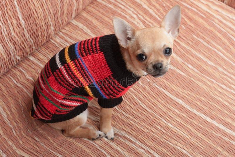 Chihuahuawelpe kleidete mit dem Pullover an, der auf Sofa sitzt stockfotografie