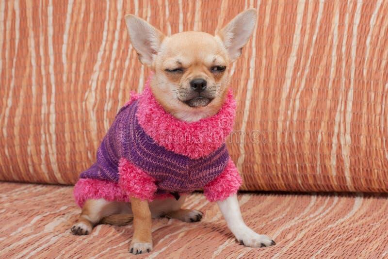 Chihuahuawelpe kleidete mit dem Pullover an, der auf Sofa sitzt lizenzfreies stockbild