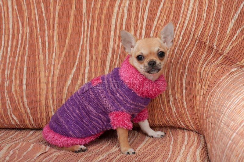Chihuahuawelpe kleidete mit dem Pullover an, der auf Sofa sitzt lizenzfreie stockfotos