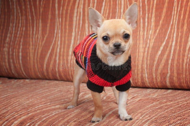 Chihuahuawelpe kleidete mit dem Pullover an, der auf Sofa steht stockbilder