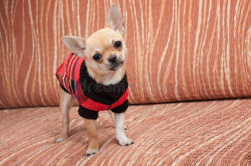 Chihuahuawelpe kleidete mit dem Pullover an, der auf Sofa steht stockfotografie