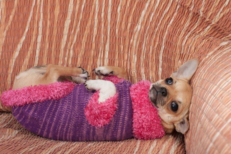 Chihuahuawelpe kleidete mit dem Pullover an, der zurück auf ihr auf Sofa liegt lizenzfreie stockbilder