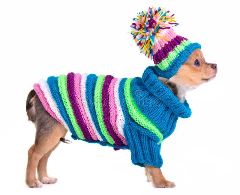 Chihuahuawelpe kleidete mit Strickjacke und Hut an stockbild