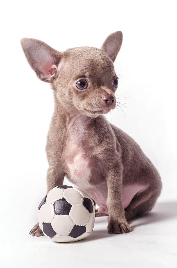 Chihuahuawelpe mit Ball stockbilder