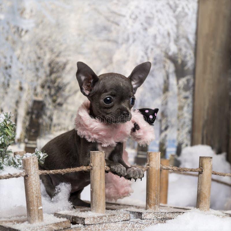 Chihuahuawelpe mit dem rosa Schal, stehend auf einer Brücke in einer Winterlandschaft stockfoto