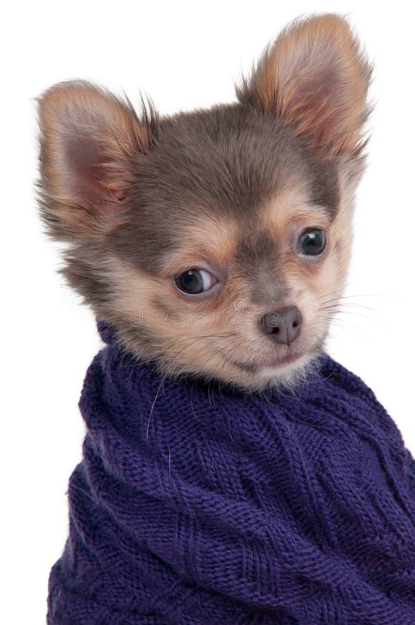 Chihuahuawelpe mit der warmen Strickjacke getrennt lizenzfreies stockfoto