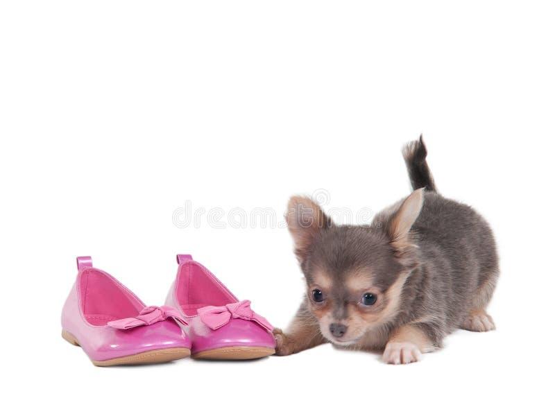 Chihuahuawelpe mit rosafarbenen Schuhen stockfoto