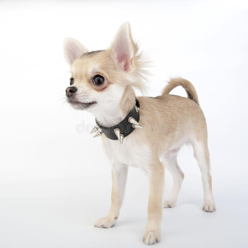 Chihuahuawelpe mit schwarzes Leder verziertem Kragen stockbild