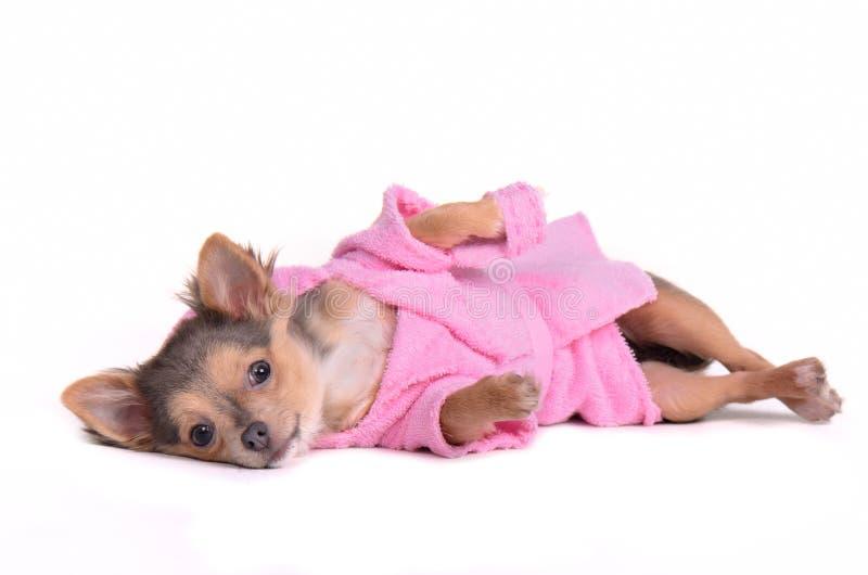 Chihuahuawelpe nach dem tragenden Bademantel des Bades lizenzfreie stockfotografie