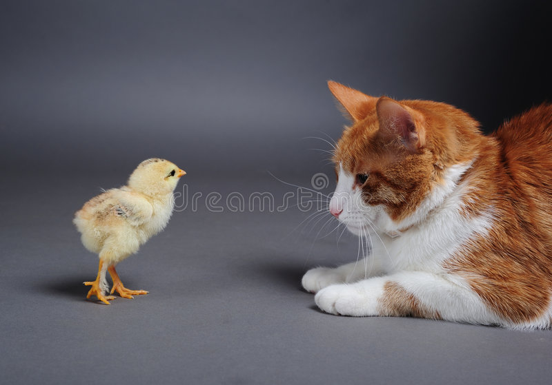 Download Chik and cat stock image. Image of poultry, chicken, born - 6676083