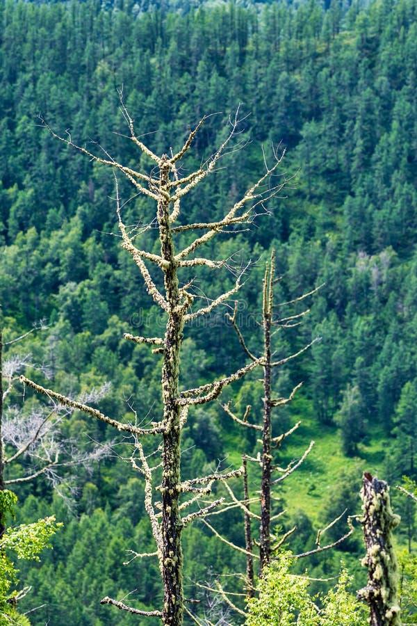 Chike - Taman bergpasserande Altai republik, Ryssland royaltyfri bild