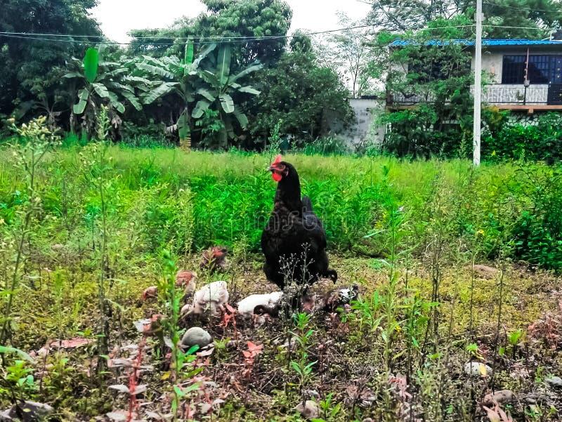 Chiken защищает стоковое фото