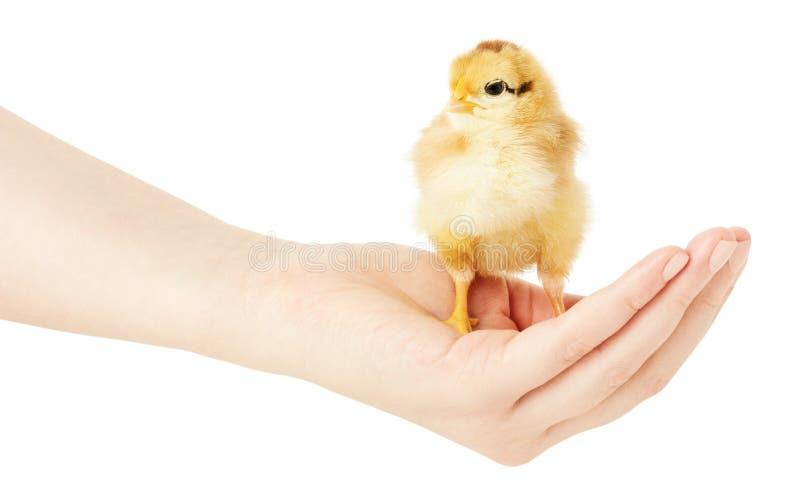 Chiken lite på den mänskliga handen på en vit bakgrund fotografering för bildbyråer
