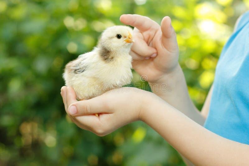 Chiken na natureza do cuidado da mão da criança ao ar livre imagens de stock royalty free