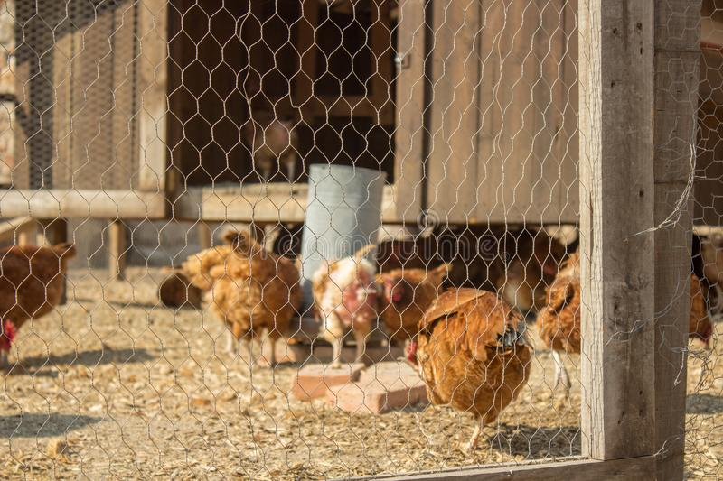 Chikens in a farm royalty free stock photo