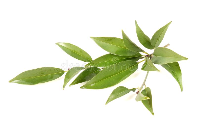Chikoo fruit leaves stock photos