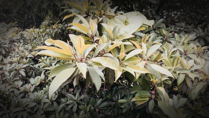 Chikoo tree leaves stock photo