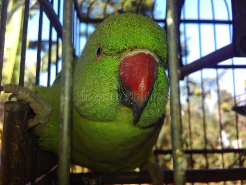 Chiku попугая стоковое изображение rf
