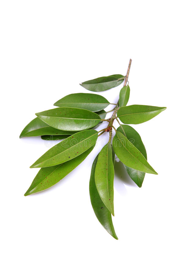 Download Chiku leaves stock image. Image of stem, spring, nature - 16334991
