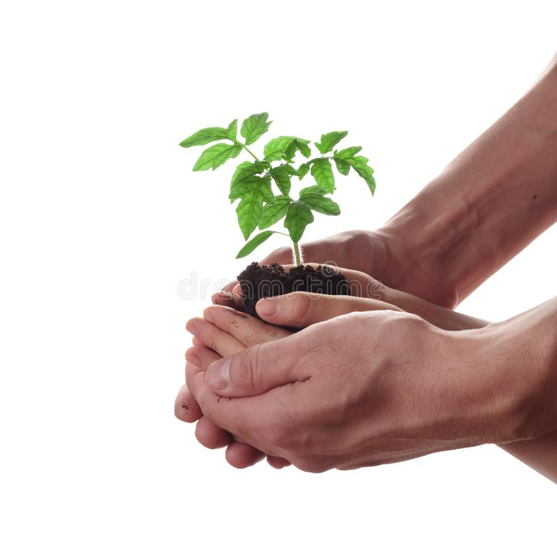 Child and adult hands holding soil heap with tomato seedling. stock images