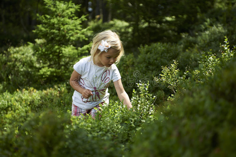 Child blond little girl picking fresh berries on blueberry field in forest. Child pick blue berry in the woods. Little girl playing outdoors. Summer family fun stock photography