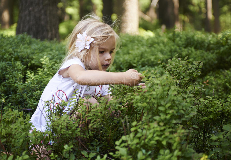 Child blond little girl picking fresh berries on blueberry field in forest. Child pick blue berry in the woods. Little girl playing outdoors. Summer family fun royalty free stock photos