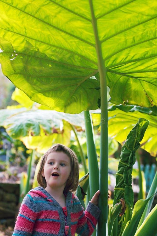 Child at Botanic Garden. Little girl under giant green Alocasia leave (elephant ear) in magical botanic garden stock photo
