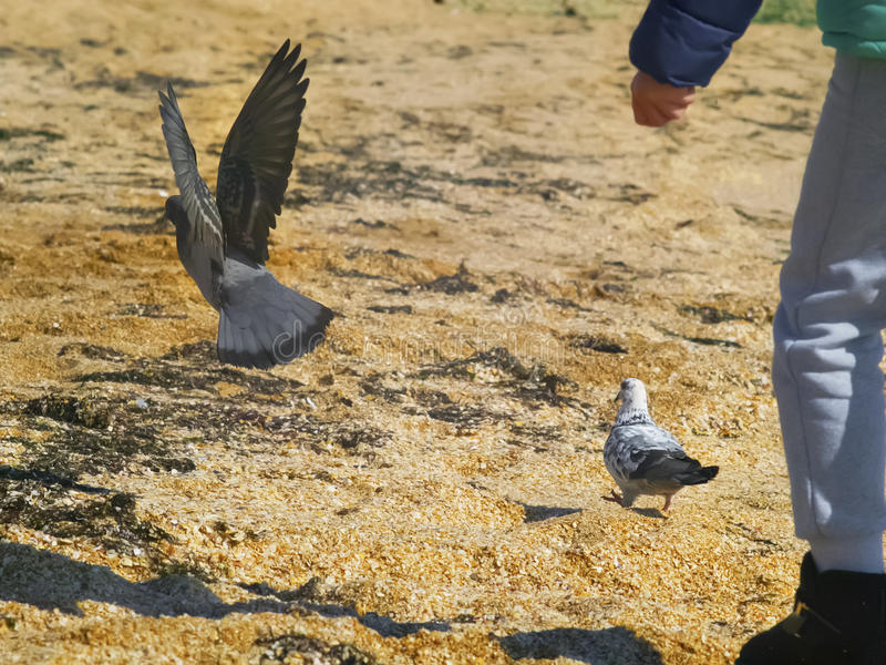 Child chasing pigeons on the beach stock photos