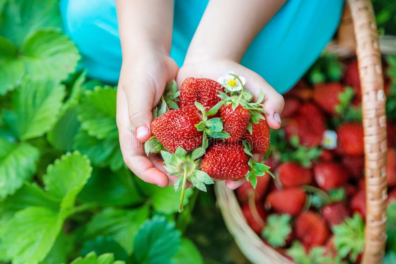 The child collects strawberries in the garden. Selective focus royalty free stock images