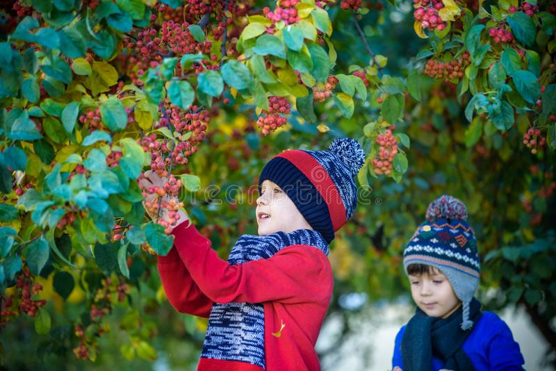 Child on a farm in autumn. Little boy and his brother friend playing in decorative apple tree orchard. Kids pick fruit. Toddler stock photo
