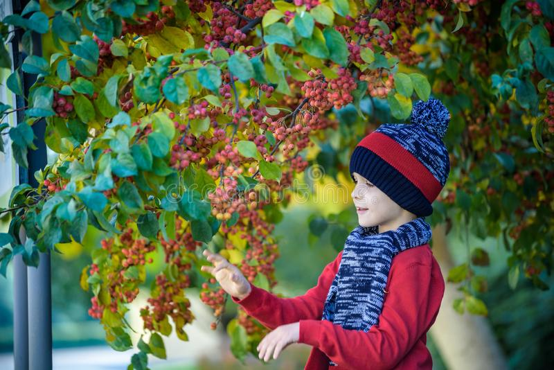 Child on a farm in autumn. Little boy playing in decorative apple tree orchard. Kid pick fruit. Toddler eating fruits at harvest. stock photos