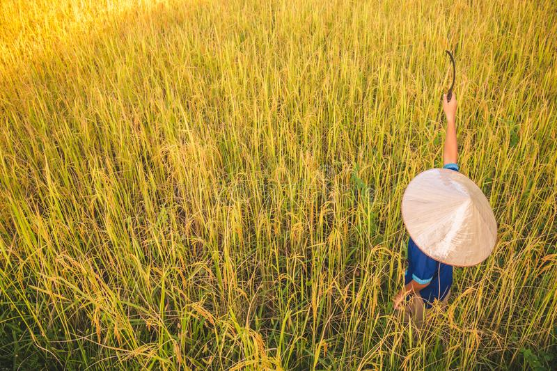 Child farmer is harvesting rice. royalty free stock photo