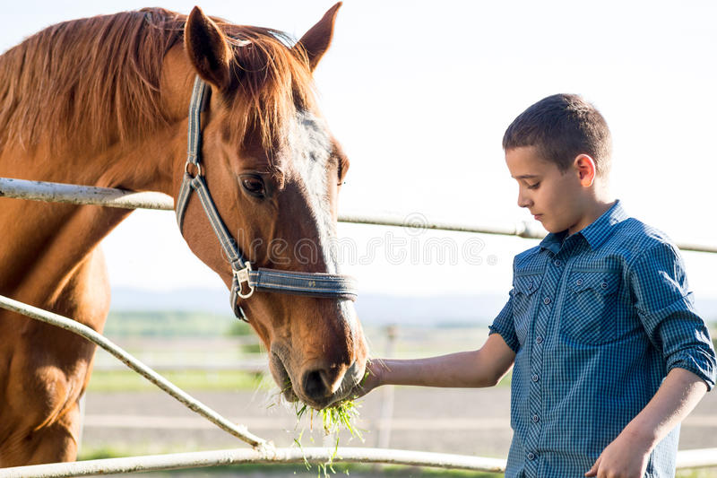 Child feeding beautiful brown horse stock images