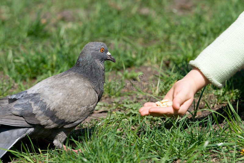 Child is feeding a bird royalty free stock photo