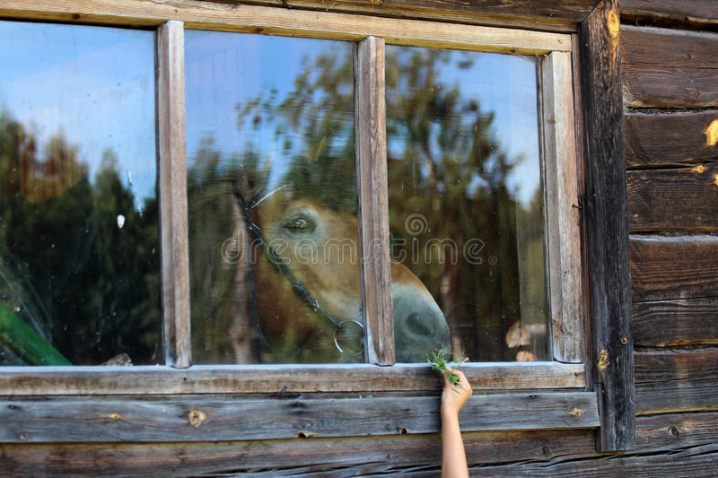 Child feeding a horse through a window glass royalty free stock image