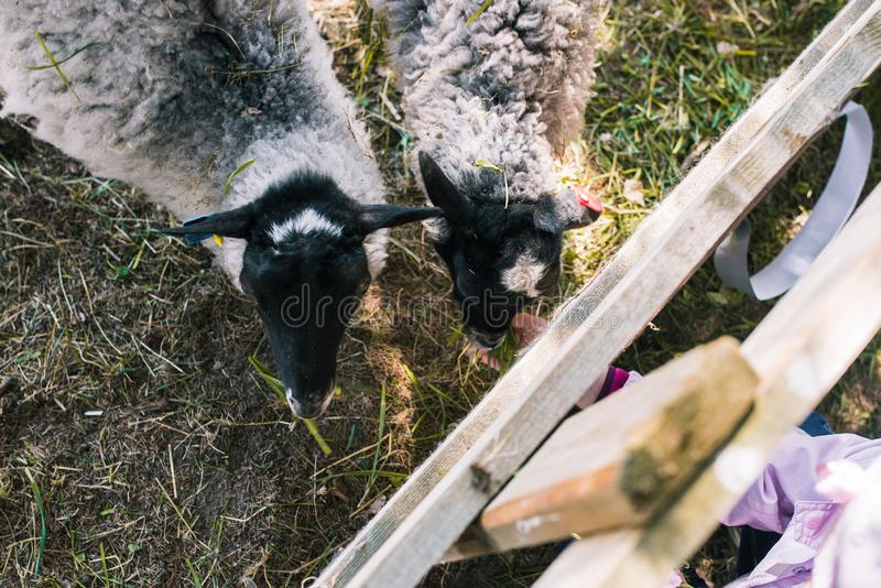 A child feeds domestic sheep with grass through a fence. Animals for a walk in the woods. Breeding sheep on the farm. Livestock royalty free stock images