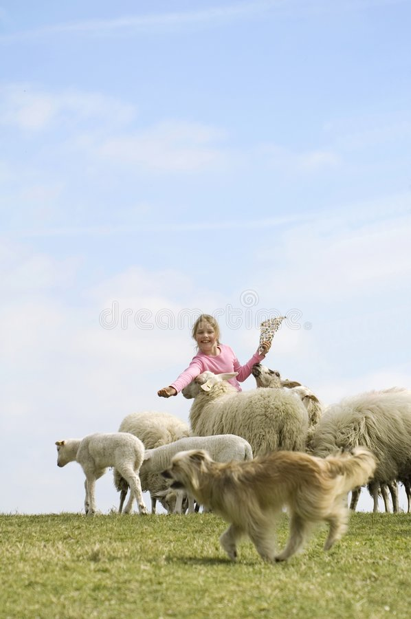Child feeds a herd of sheeps stock photography